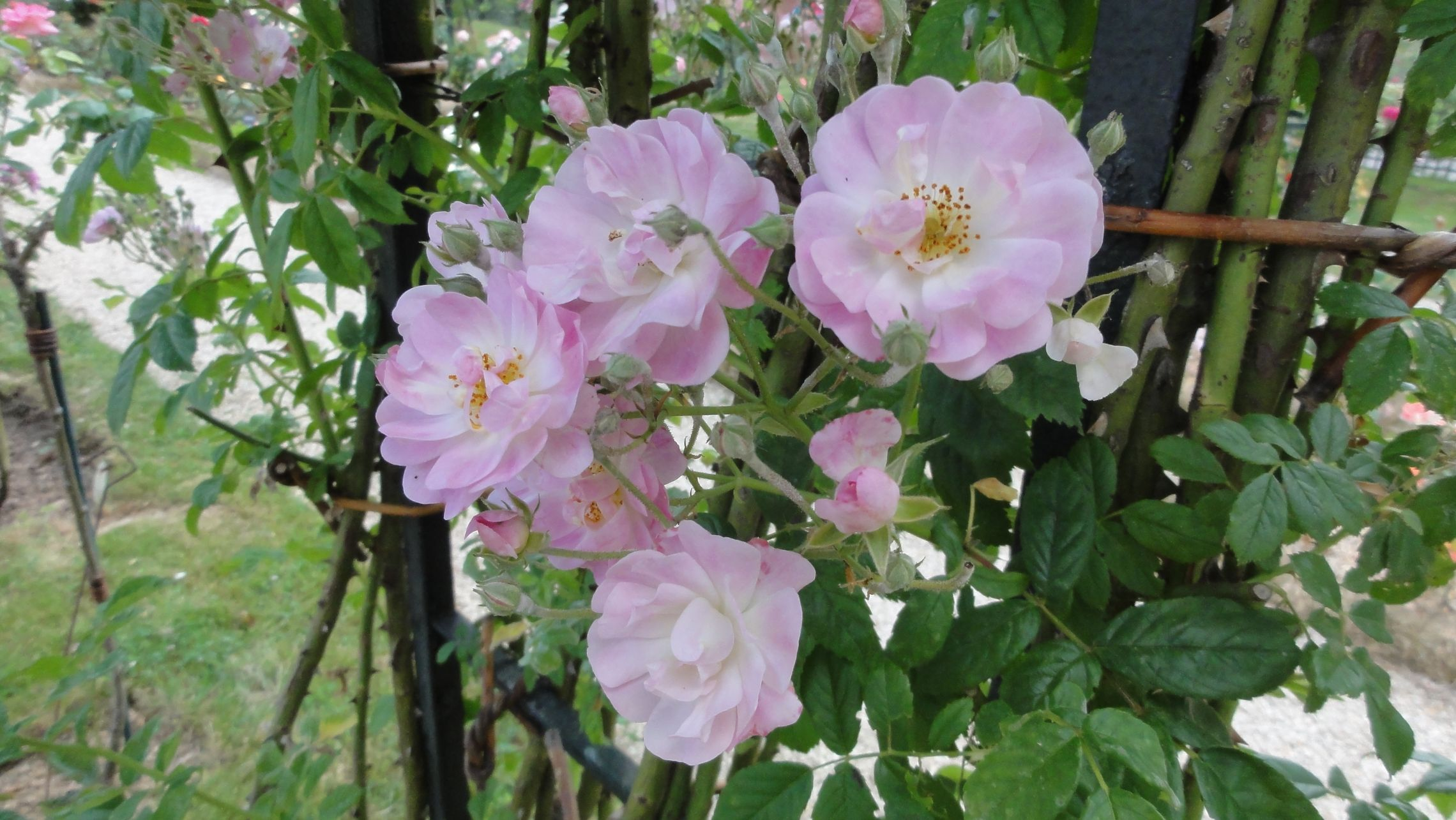 20170602 roseraie vdm 05