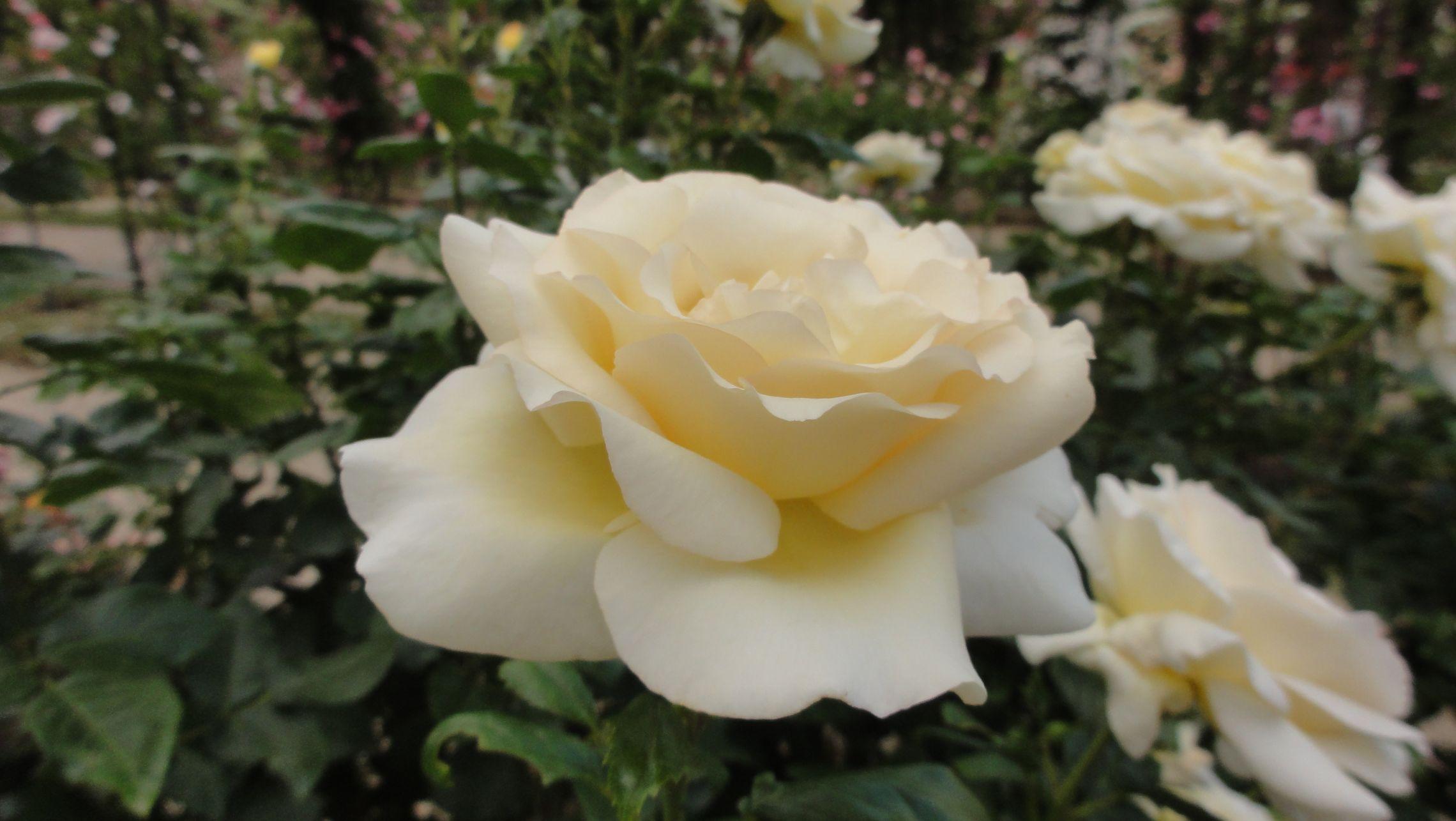 20170602 roseraie vdm 08