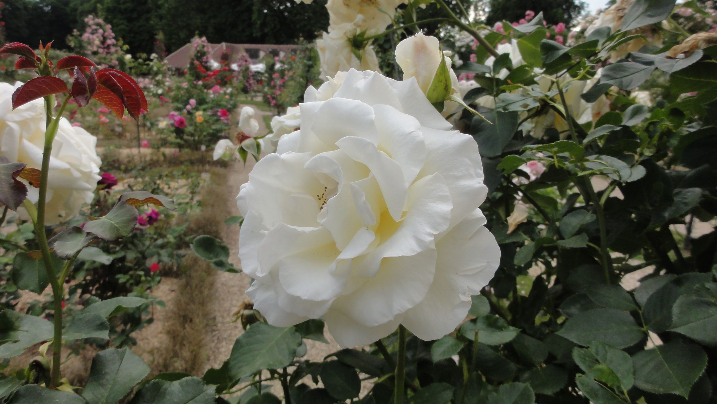 20170602 roseraie vdm 12