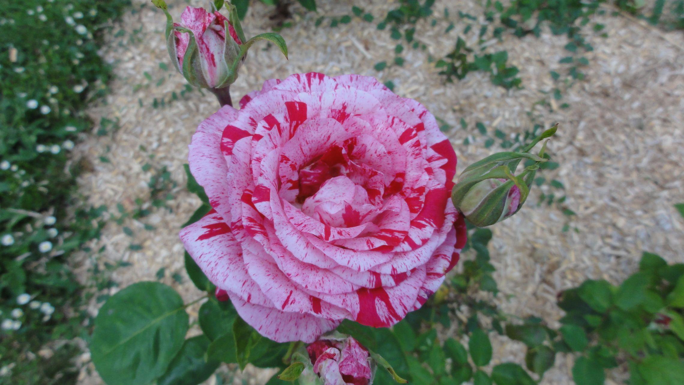 20170602 roseraie vdm 14