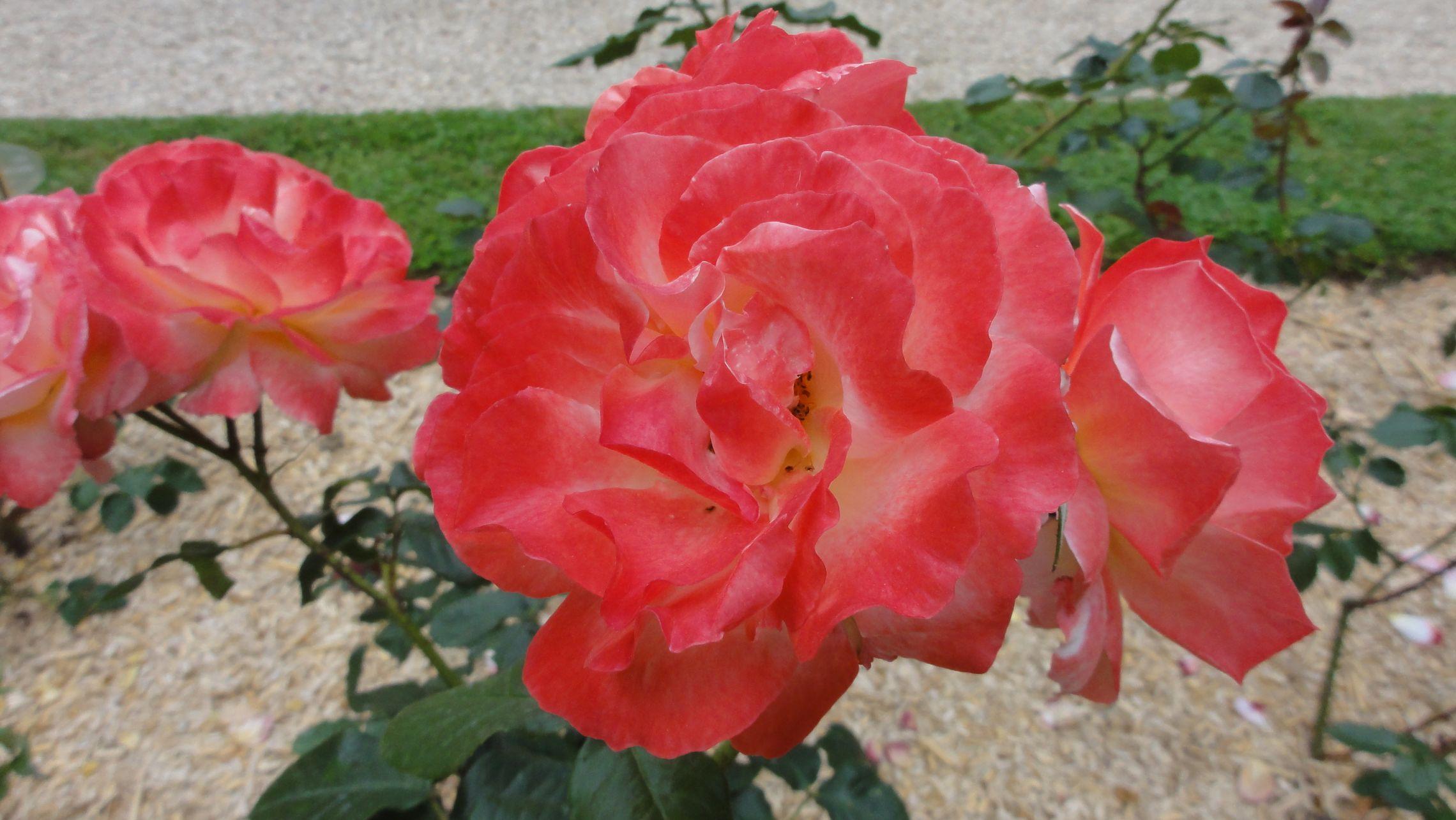 20170602 roseraie vdm 18