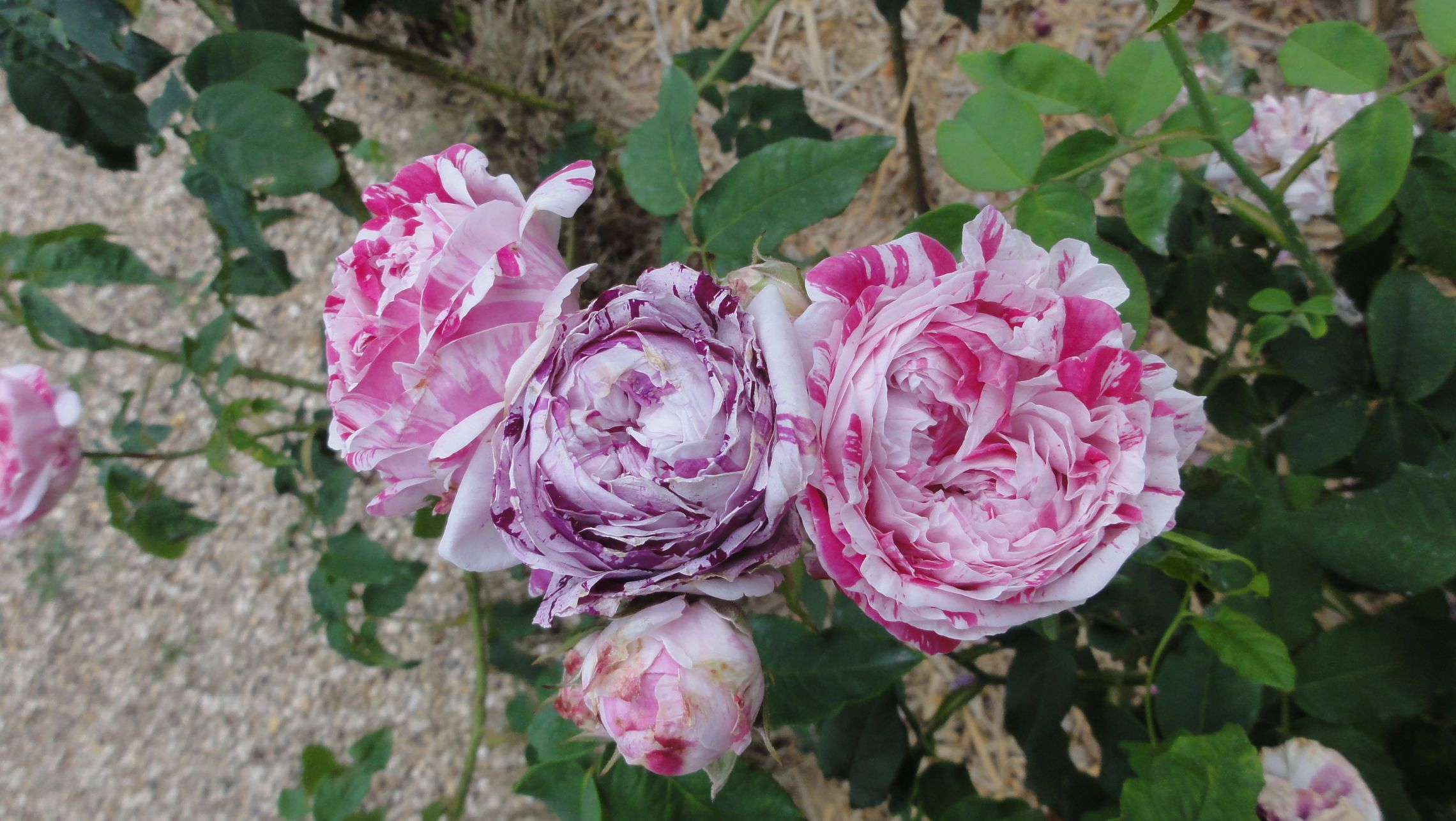 20170602 roseraie vdm 19