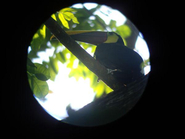 Photo de Toucan au Costa Rica