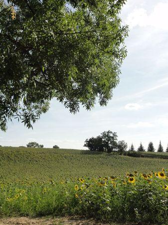 Tournesols en fleurs dans le Gers