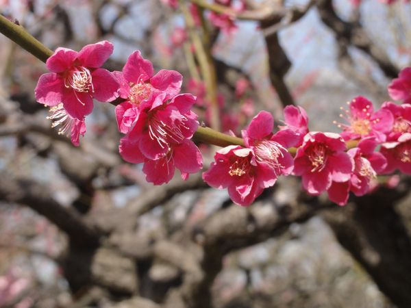 Fleurs de pruniers en gros plan