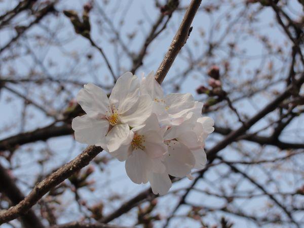 Fleurs de cerisier au temple Shitennoji à Osaka