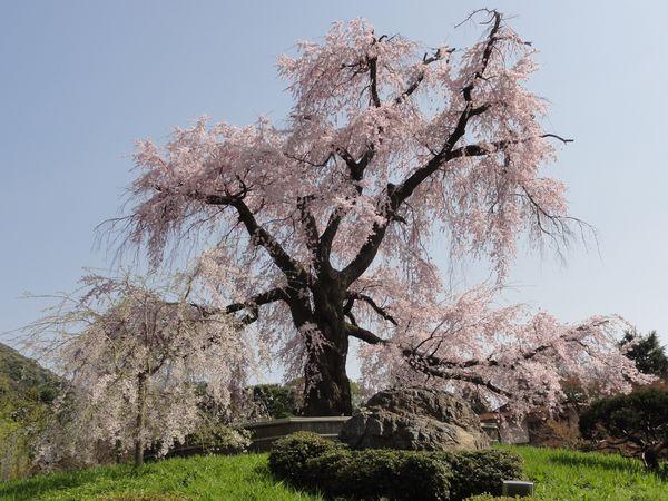 Immense cerisier en fleur à Kyoto, Japon