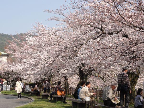 Cerisiers en fleur à Kyoto, Japon