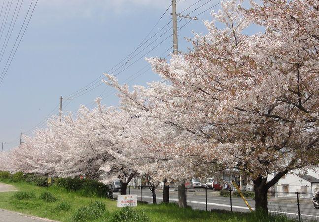 Cerisiers en bordure d'en parc dans la banlieue d'Osaka, au Japon