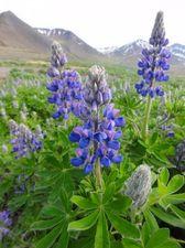 Fleurs islandaises
