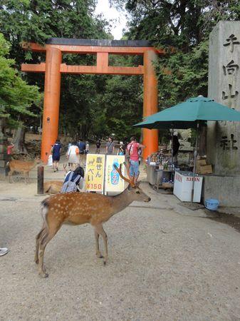 Daims dans l'enceinte des temples de Nara