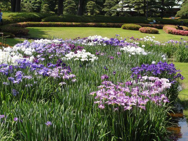 Iris du jardin du palais impérial, à Tokyo